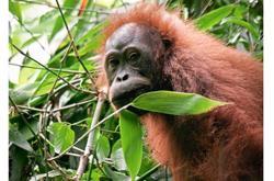 WWF-Malaysia to host series of virtual talks on orang utan conservation