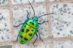Rare beetle species spotted in Brunei