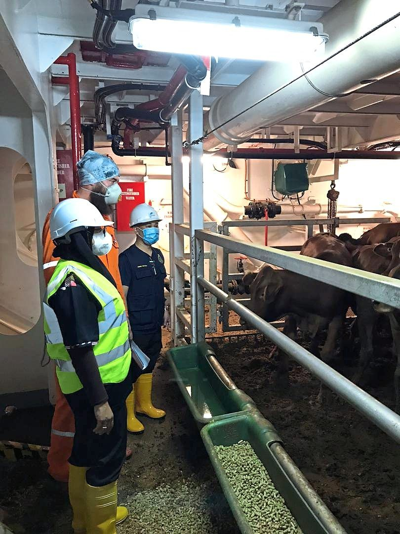 Johor Maqis personnel checking on livestock brought in, during an inspection at a port in Johor.