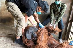 Two captive orang utans rescued