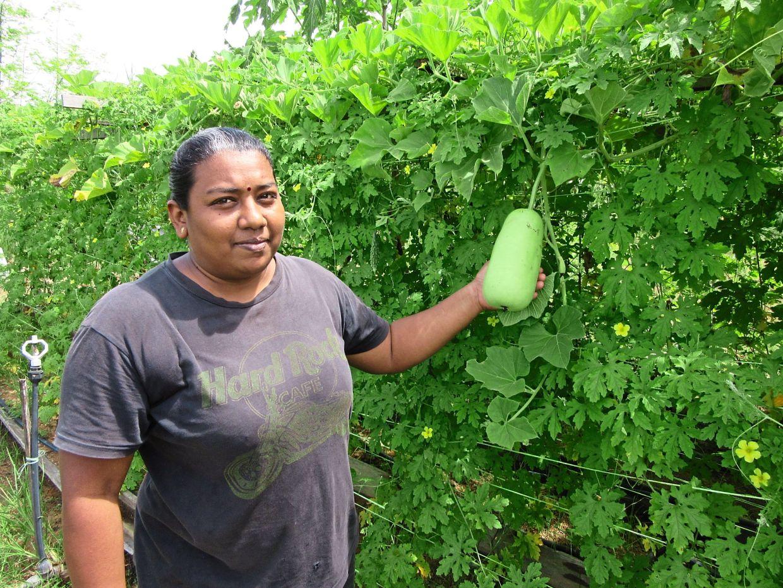 Somosonderam's youngest daughter Vijayalashimi showing a bottle gourd growing at the farm.