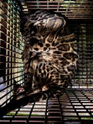 Clouded leopard which escaped from Sabah wildlife park caught