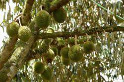 Raub durian land dispute a very prickly affair