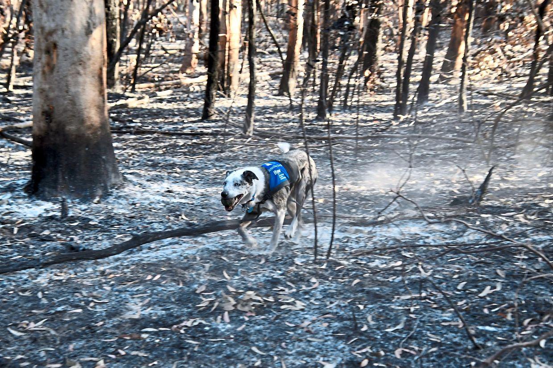 Bear running across burnt ground in search of koalas in danger.
