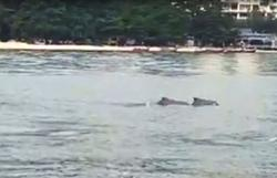 Dolphins sighted off Penang waters