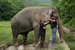 Cambodia: Only Asian elephant in Pakistan prepared for new home