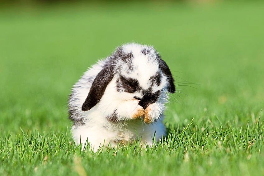Brushing your rabbit about every three days can prevent ingestion of too much fur which can cause intestinal blockages.