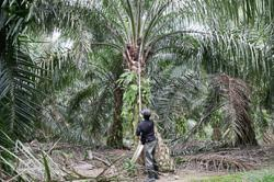 Palm oil price forecast to increase to RM2,500