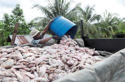 Red tilapia farmer suffers RM50,000 loss after fish die