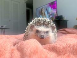 Porcupines are prickly but still make precious pets