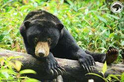 Sun bear scaring Kg Baru folk in Dungun