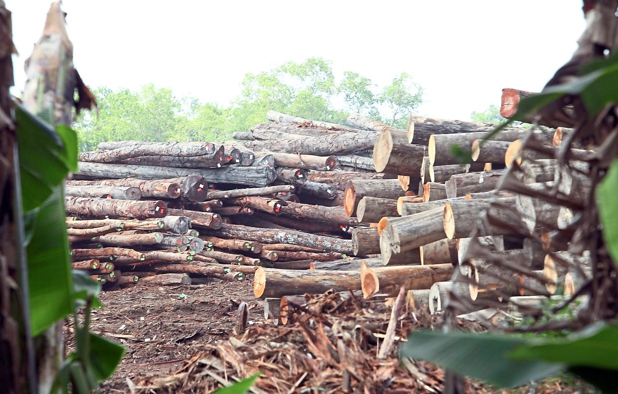 Export logs: Plantation logs made up more than 60% of Sarawak's total log export of 649,000 cubic metres between January and July this year.
