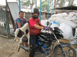 The man who rescues Nepal's abandoned cows with his motorcycle