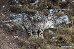 Rare leopards reappear in habitats near Beijing as eco-environment improves