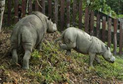 Two endangered and almost extinct Javan rhino calves spotted in Indonesian park