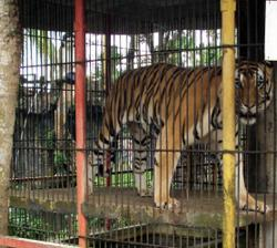 Captive breeding of tigers is not conservation