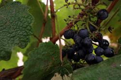 'Wet ashtray' wine grapes left to birds as fires choke West Coast vineyards