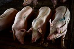 Philippines hit by new swine fever outbreaks, eyes more pork imports