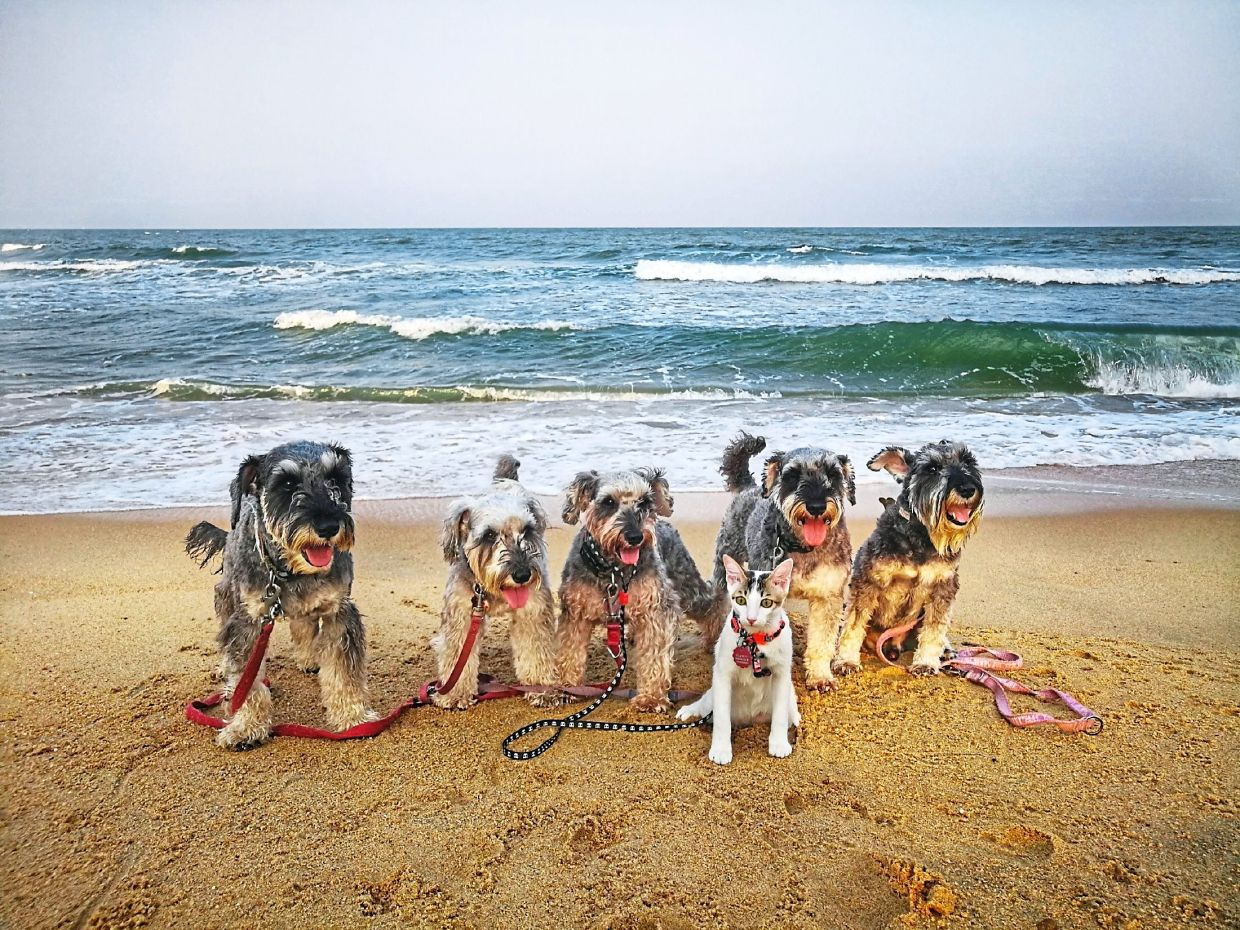 The Schnauzers - named Ocha, Puer, TehC, Cider and Kopi - love the beach. Keeping the dogs clean can be a chore, though, as they have sensitive skin.— Wong Puei Ee