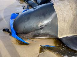 Rescue of stranded whales in Australia enters final phase