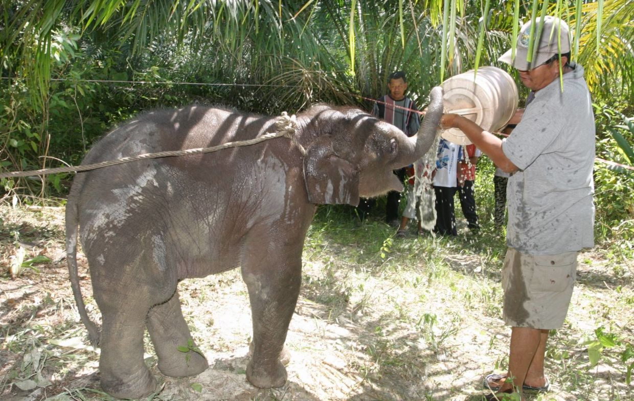 More awareness among rural folk leads to situations like this instead of the death of an animal that wanders into human habitation areas. This villager found the two-month-old elephant on an oil palm plantation in Sungai Siput, Perak. — Filepic/The Star
