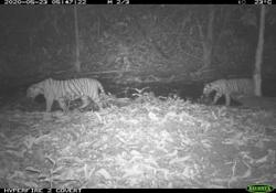 Malayan Tiger cubs sighted