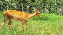 Endangered Eld's deer spotted in Kratie after five years