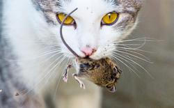 Feral cats cannot be tamed but will make great rat-catchers