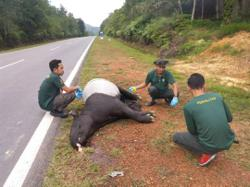 Female tapir found dead in Kluang road