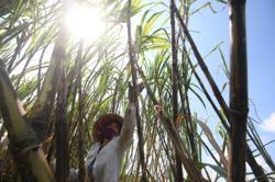 Opportunities await Vietnam's sugarcane farmers