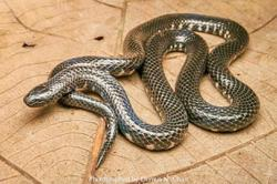 Rare snake spotted for the first time in 106 years