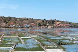 Balinese rediscover seaweed farming
