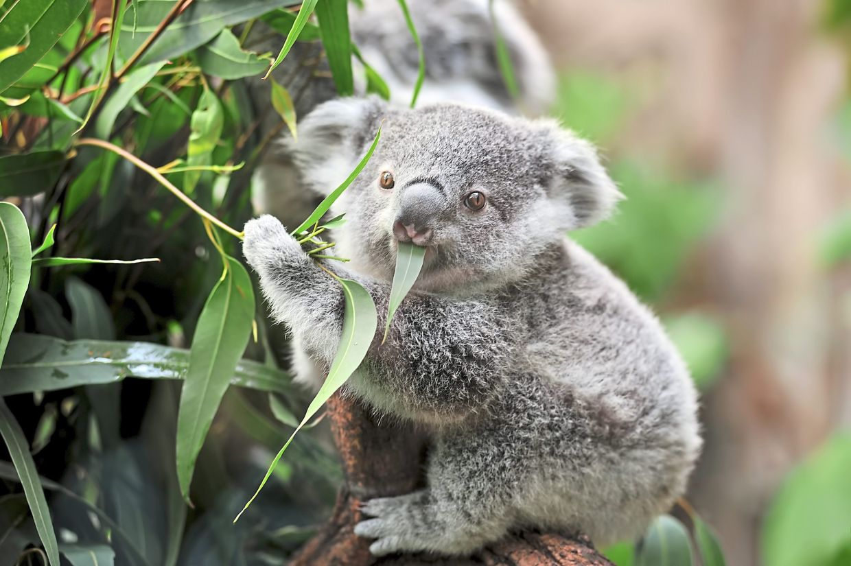 Awww... look at this close-up of a young koala bear on a tree eating eucalyptus leaves. — AFP Relaxnews