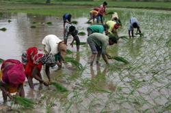 India's rice exports could jump to record on Thai drought effects