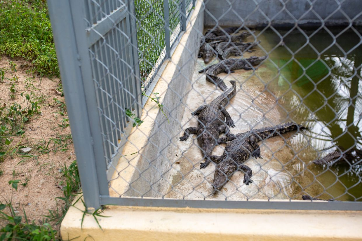 The exact reason why there are crocodiles within the prison grounds remains a mystery.