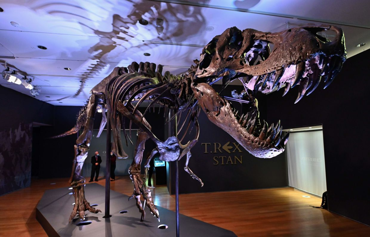 The fossil, nicknamed Stan, stands 4m high and 12m long, with puncture marks in the skull and neck that experts believe show evidence of fights with fellow T-Rexes. Photo: AFP