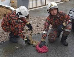 Baby crocodile caught by firemen in Skudai