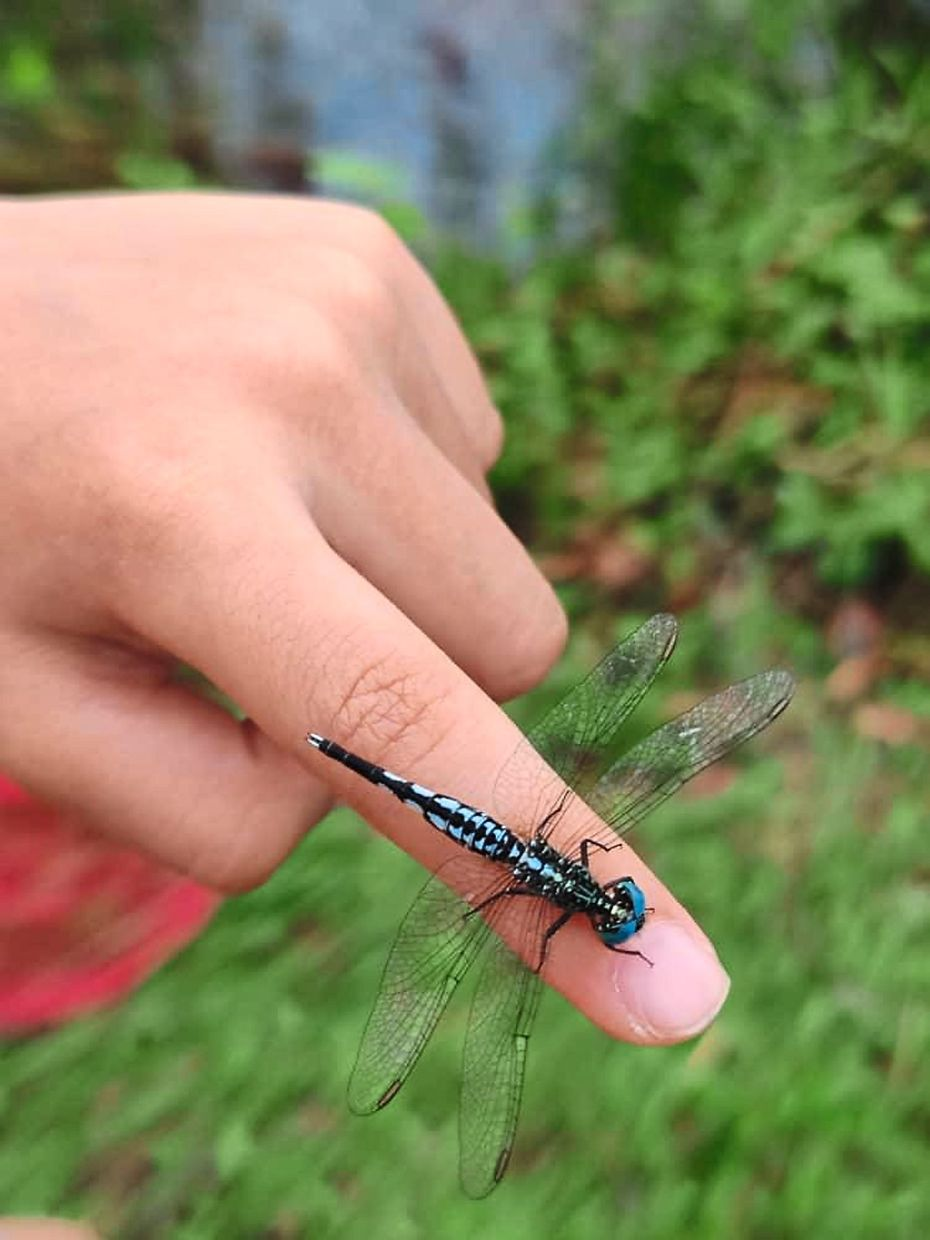 One of the many dragonflies that the family has caught.