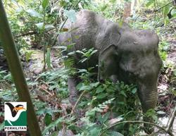Perhilitan rescues elephant ensnared in Jeli