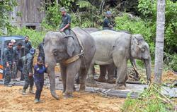 Wild jumbo relocated to Taman Negara