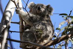 From disease to bushfires, Australia's iconic koalas face bleak future