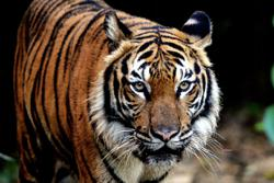 The Malayan tiger is going extinct – how do we save it?