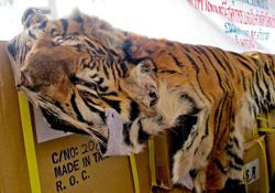 'Get rid of the poachers before releasing tigers into the wild'