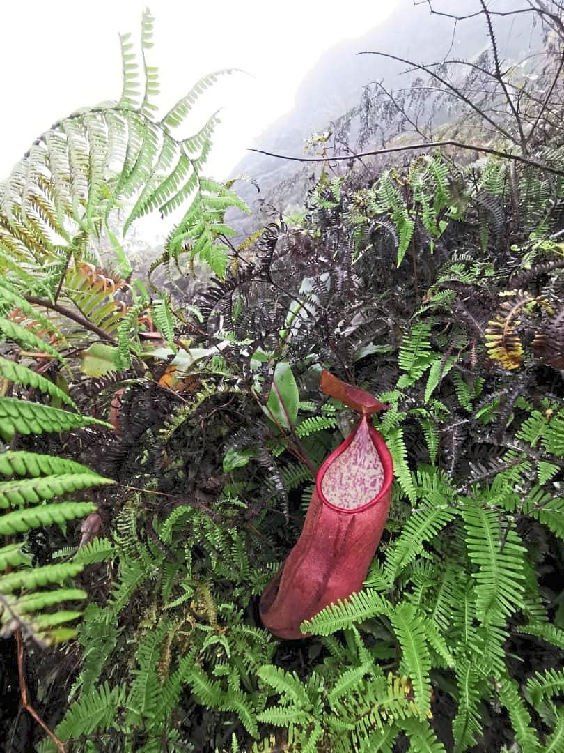 Wild pitcher plants like this one from northern part of Malaysia are at risk of being stolen by poachers who sell them overseas.