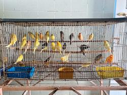 149 canaries imported without permit confiscated