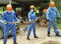 Miri family finds eight-metre long python in storeroom