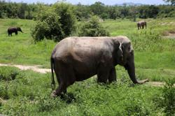 Injured wild elephant relocated from Jerantut