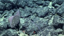 New coral species discovered on seabed prized for mining potential