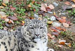 China boosts protection plan for endangered snow leopards