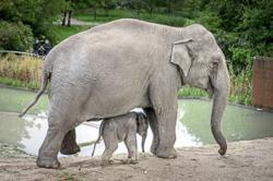 Asian elephants 'severely threatened'